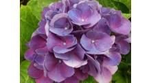 Cẩm tú cầu màu tím
