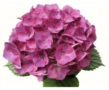 Cẩm tú cầu màu hồng đậm