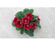 Hoa Violet châu Phi