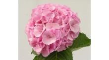 Cẩm tú cầu màu hồng